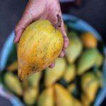 Vyzkoušejte ovoce jménem lucuma